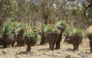 Grass trees Upper Bingara
