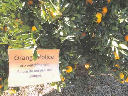 It will be a severe dressing down from students of the Bingara Central school for anyone caught trying to steal oranges before the official orange picking on Friday.