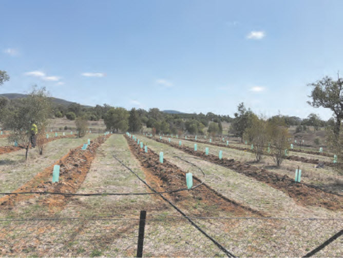 Future food source for native species, planted at Bingara's Living Classroom.