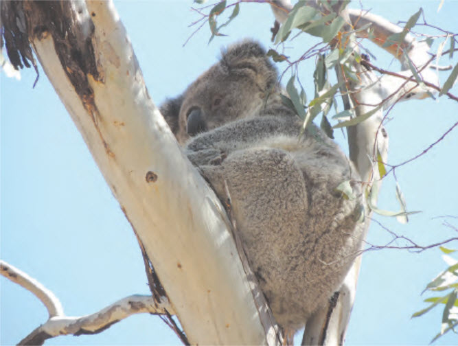 A local koala.