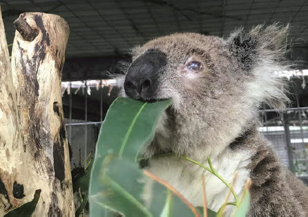 Enjoying her breakfast of 'Eucalyptus robusta' at the Port Macquarie Koala Hospital is the female koala rescued at Bingara in November 2018.