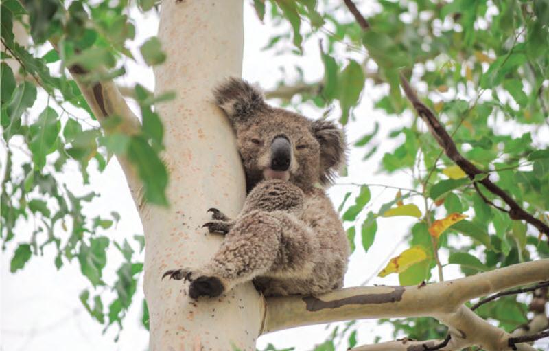 A koala at Warialda.