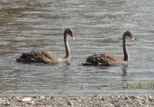 Black swans at Bingara