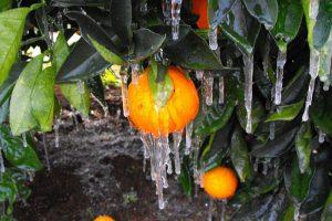 Bingara's Oranges