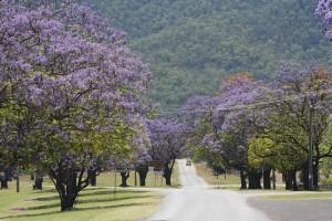 Jacarand trees
