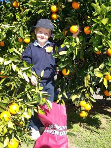 Bingara Orange Picking
