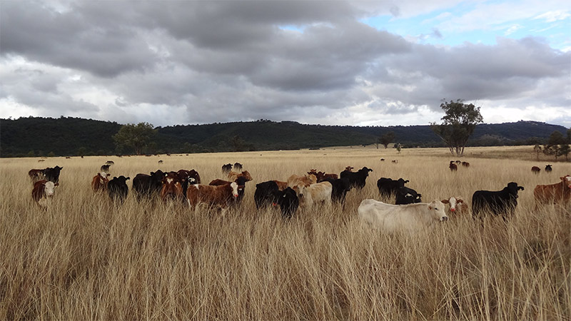 Cattle at The Living Classroom